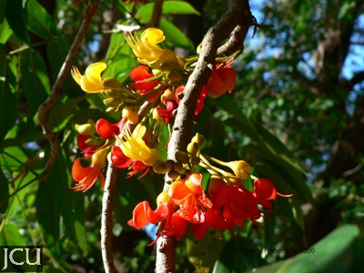 This image has an empty alt attribute; its file name is BLACK-BEAN-TREE.FLOWERSdocx.jpg
