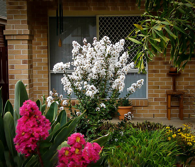 This image has an empty alt attribute; its file name is CREPE-MYRTLE-DWARF-IMAGES-www.sunblestproducts.com-1.jpg