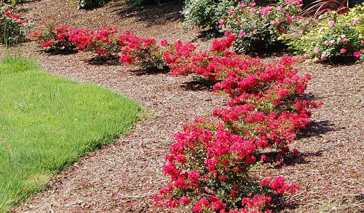 This image has an empty alt attribute; its file name is CREPE-MYRTLE-DWARF-IMAGES-www.sunblestproducts.com-32.jpg