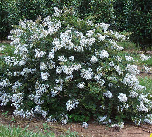 This image has an empty alt attribute; its file name is CREPE-MYRTLE-DWARF-IMAGES-www.sunblestproducts.com-9.jpeg