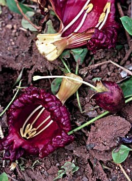 This image has an empty alt attribute; its file name is Kigelia_africana_fallen_flowers.jpg