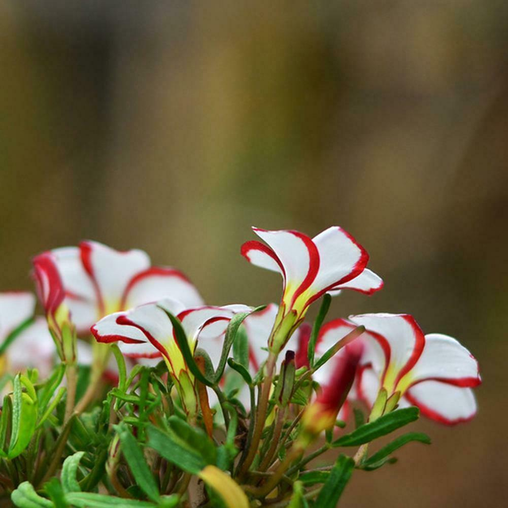 This image has an empty alt attribute; its file name is candy-oxalis-flowers-images-www.sunblestproducts.com_.-11.jpg