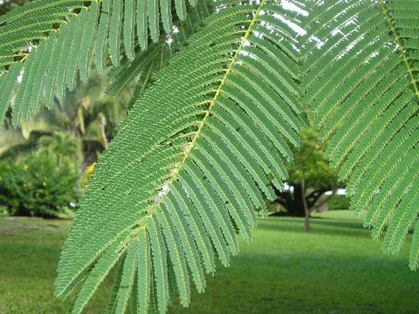 This image has an empty alt attribute; its file name is colvillea-racemosa-tree-images-www.sunblestproducts-13.jpg