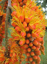 This image has an empty alt attribute; its file name is colvillea-racemosa-tree-images-www.sunblestproducts-4.jpg