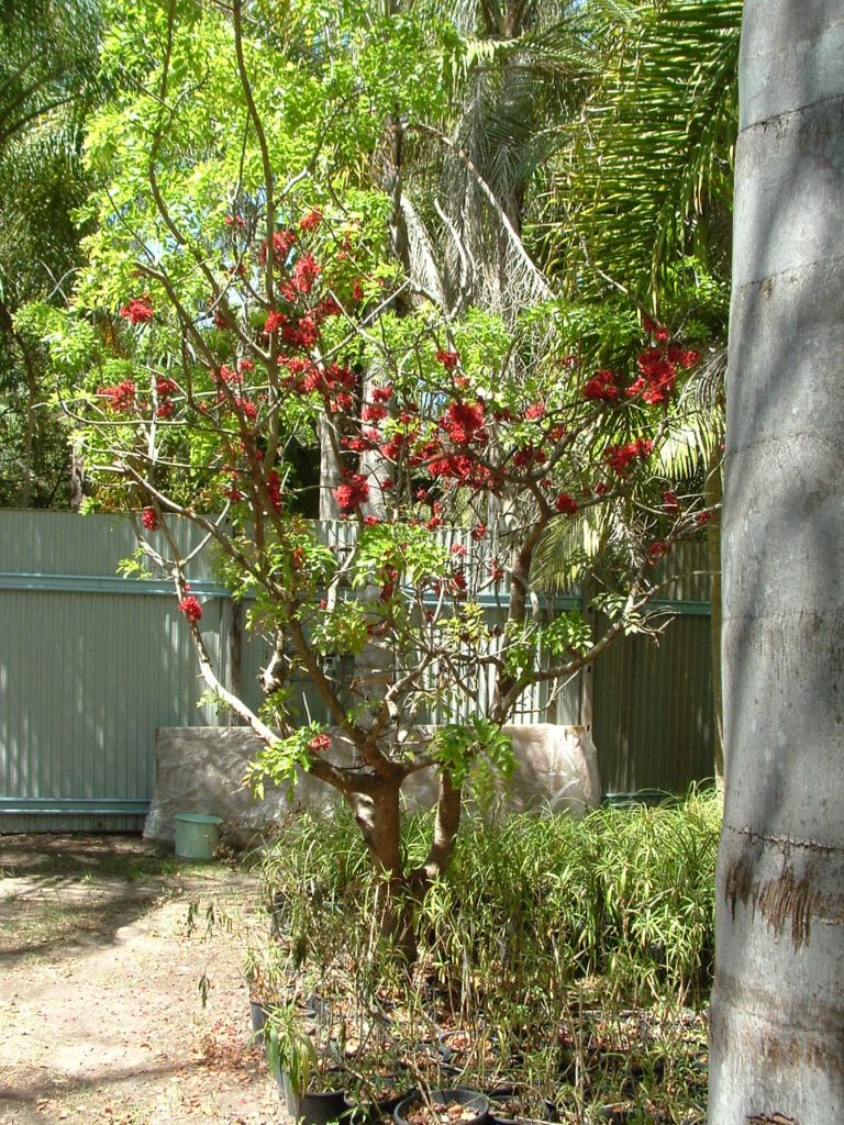 This image has an empty alt attribute; its file name is drunken-parrot-tree-flowering-images-www.sunblestproducts-1-768x1024.jpg