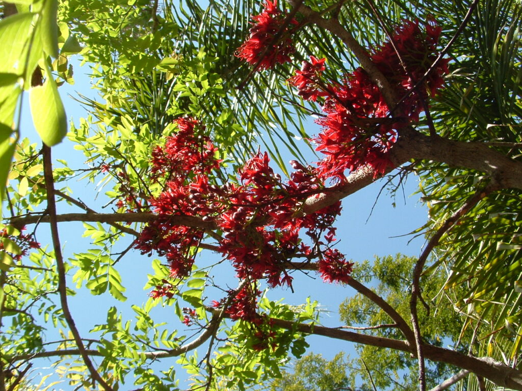 This image has an empty alt attribute; its file name is drunken-parrot-tree-flowering-images-www.sunblestproducts-5-1024x768.jpg