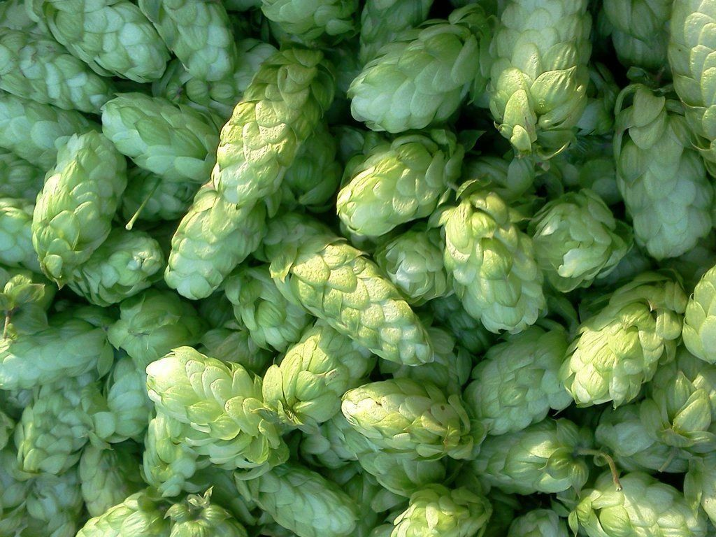 This image has an empty alt attribute; its file name is green-hops-image-www.sunblestproducts.com_.jpg