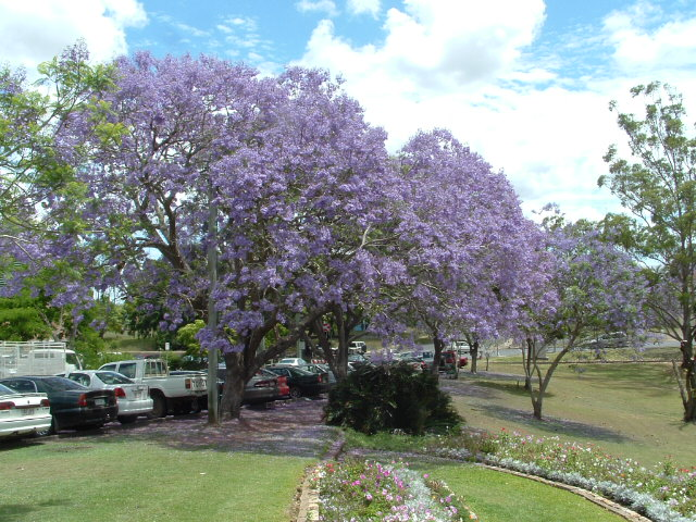 This image has an empty alt attribute; its file name is jacaranda-trees-image-www.sunblestproducts.com_.jpg