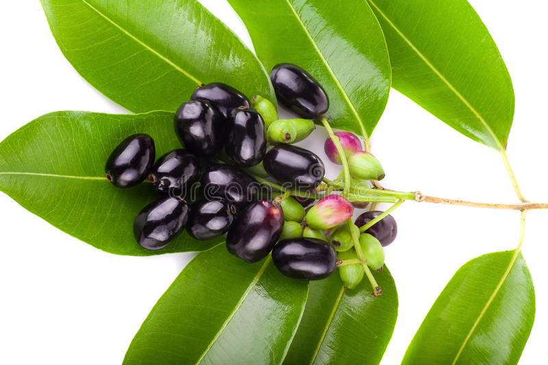 This image has an empty alt attribute; its file name is jambolan-plum-java-plum-white-background-plums-image-www.sunblestproducts.com_.jpg