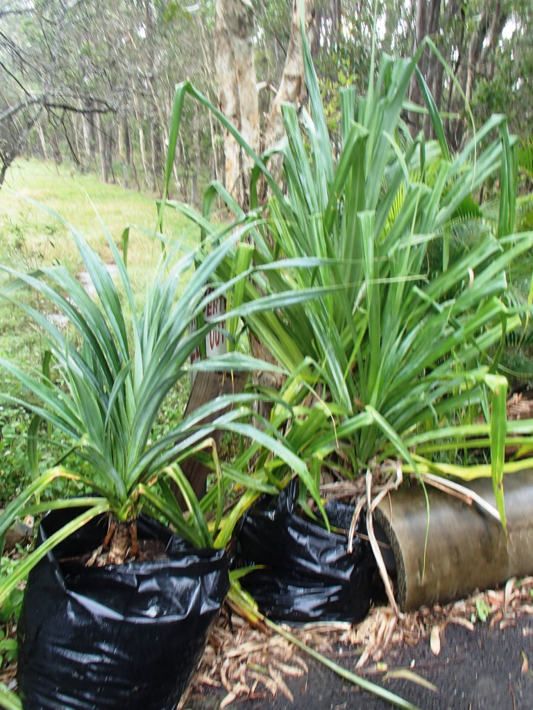 This image has an empty alt attribute; its file name is pandanus-palms-in-large-growbags-images-www.sunblestproducts-1.jpg