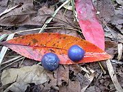This image has an empty alt attribute; its file name is seeds-leaves-blue-quandong-image-www.sunblestproducts.com_.jpg