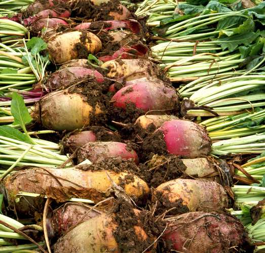 This image has an empty alt attribute; its file name is SUGARBEET-VEGETABLE-images-www.sunblestproducts.com-3.jpg