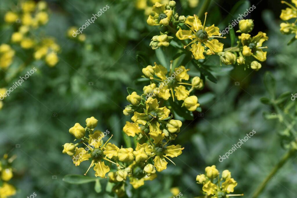 This image has an empty alt attribute; its file name is rue-herbal-medicinal-plant-images-www.sunblestproducts.com-29-1024x682.jpg