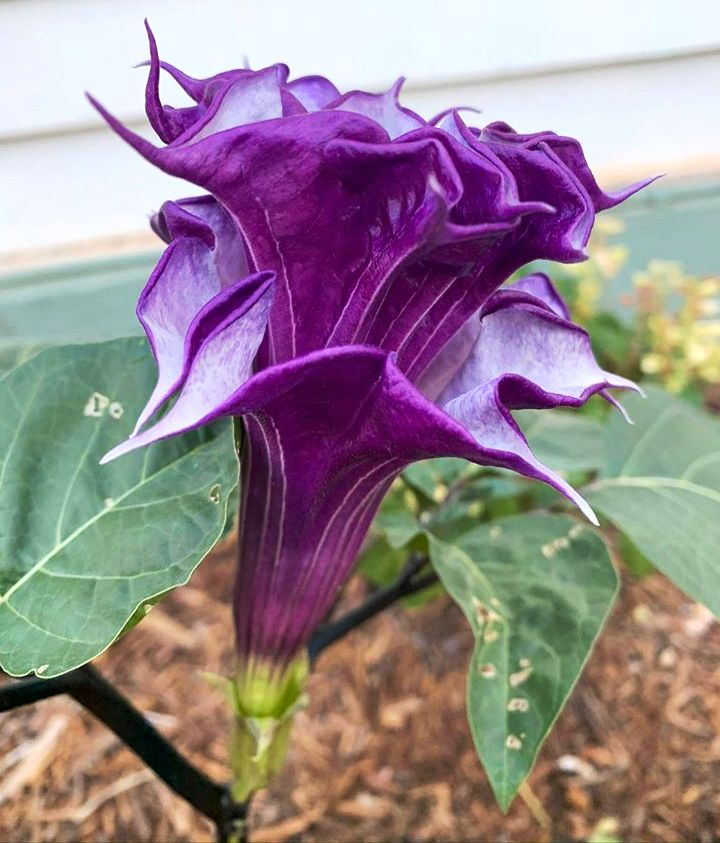 This image has an empty alt attribute; its file name is purple-datura-plant-flowers-images-www.sunblestproducts.com-5.jpg
