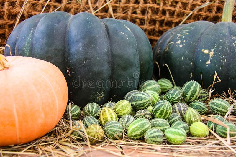 This image has an empty alt attribute; its file name is cucumis-anguria-cackrey-maroon-cucumber-west-indian-gherkin-west-indian-gourd-deco-fruits-images-www.sunblestproducts.com-3.jpg