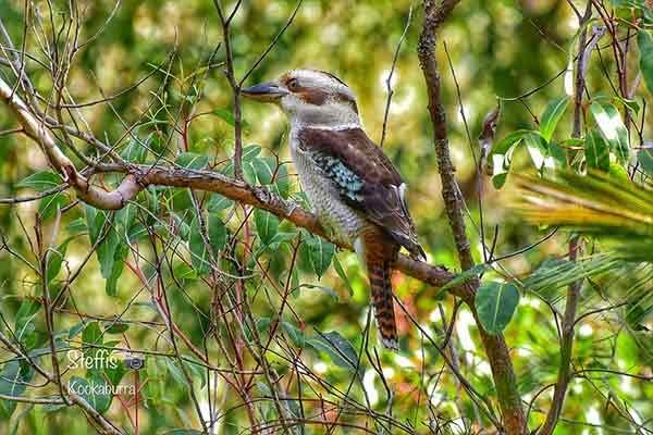 This image has an empty alt attribute; its file name is Blue-winged-Kookaburra-Best-Bird-image-www.sunblestproducts.com_.jpg