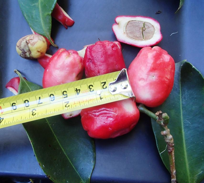 This image has an empty alt attribute; its file name is Brush-Cherry-apple-Syzygium-australe-images-www.sunblestproducts.com-4.jpg