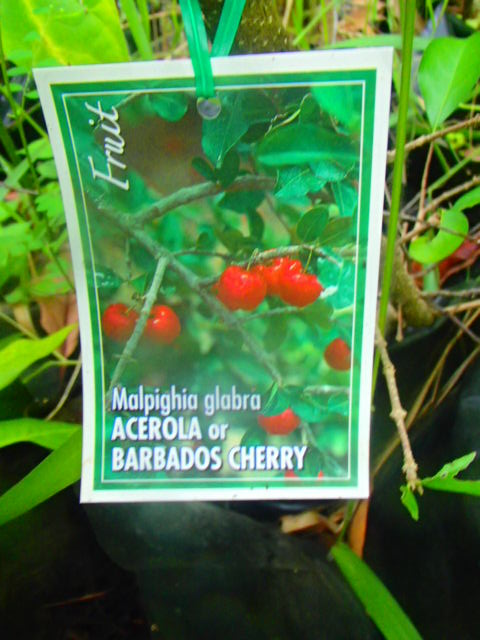 This image has an empty alt attribute; its file name is acerola-berries-barbados-label-images-www.sunblestproducts-1.jpg