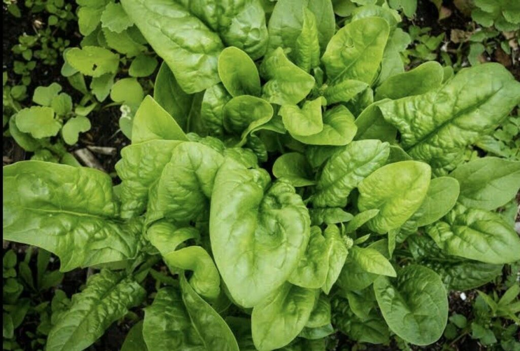 This image has an empty alt attribute; its file name is english-spinach-leafy-greens-images-www.sunblestproducts.com-11-1024x691.jpg