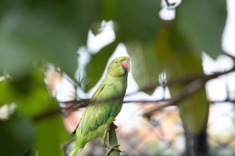 This image has an empty alt attribute; its file name is female-rose-ringed-parakeet-green-parrot-feasting-maize-plant-garden-image-www.sunblestproducts.com_.jpg