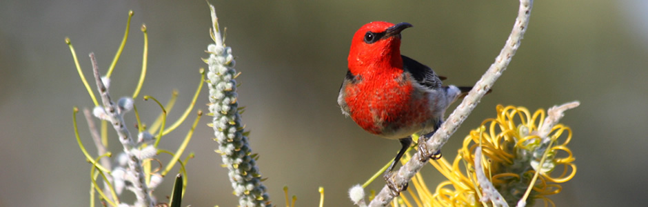 This image has an empty alt attribute; its file name is red-bird-on-branch-image-www.sunblestproducts.com_.jpg