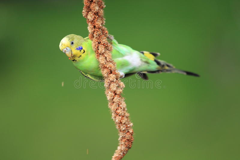 This image has an empty alt attribute; its file name is shell-parakeet-eating-then-grains-ear-image-www.sunblestproducts.com_.jpg