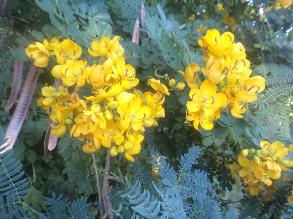 This image has an empty alt attribute; its file name is winter-cassia-in-flower-image-www.sunblestproducts-4.jpg