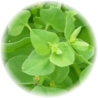 This image has an empty alt attribute; its file name is Euphorbia_peplus_radium-weed-images-www.sunblestproducts.com-3.jpg